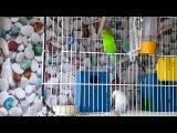 Птенцы попугаев. Январь 2014